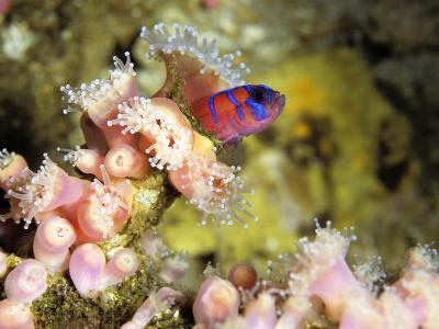Blue Banded Goby (Lythrypnus Dalli) on Strawberry Sea Anemone, Monterey Bay, California, Usa-Jeff Foott-Photographic Print