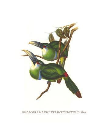 https://imgc.artprintimages.com/img/print/blue-banded-toucanet_u-l-pggr320.jpg?p=0
