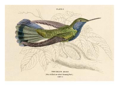 Blue Bellied Hummingbird--Art Print