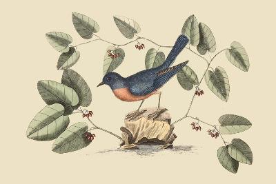 Blue Bird-Mark Catesby-Art Print