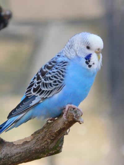 Blue Budgie Bird Parrot-Wonderful Dream-Art Print