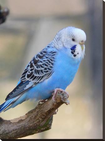Blue Budgie Bird Parrot-Wonderful Dream-Stretched Canvas Print