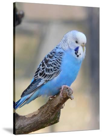 Blue Budgie Bird Parrot-Wonderful Dream-Stretched Canvas Print