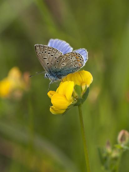 Blue Butterfly Yellow Blossom-Grab My Art-Art Print