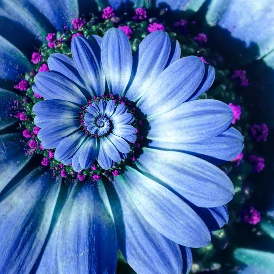 Blue Camomile Daisy Flower Spiral Abstract Fractal Effect Pattern Background. Blue Violet Navy Flow--Photographic Print