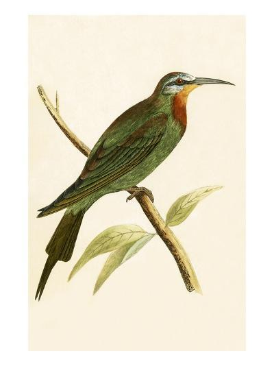 Blue Cheeked Bee Eater,  from 'A History of the Birds of Europe Not Observed in the British Isles'-English-Giclee Print