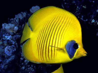 Blue-Cheeked Butterflyfish (Chaetodon Semilarvatus), Red Sea-David Fleetham-Photographic Print