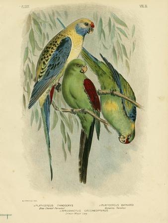 https://imgc.artprintimages.com/img/print/blue-cheeked-parakeet-1891_u-l-pulyd80.jpg?p=0