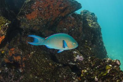 Blue-Chin Parrotfish (Scarus Ghobban) Galapagos Islands, Ecuador-Pete Oxford-Photographic Print