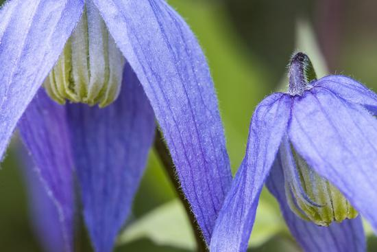 Blue Clematis Flowering in Spring in Bigfork, Montana, USA-Chuck Haney-Photographic Print