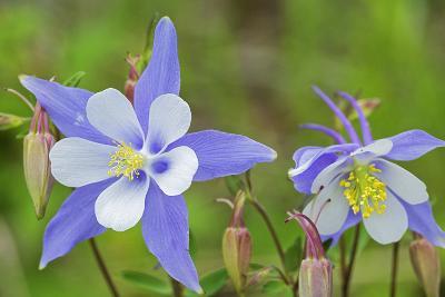 Blue Columbine, Rio Grande National Forest Colorado, USA-Charles Gurche-Photographic Print