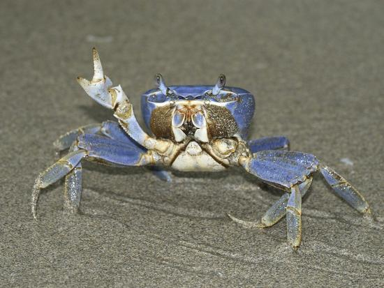 Blue Crab in Defensive Posture on a Sandy Beach, Cahuita National Park, Costa Rica-Thomas Marent-Photographic Print