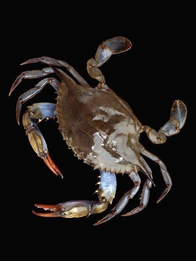 Blue Crab-Christopher C Collins-Photographic Print