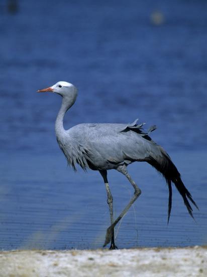 Blue Crane, Anthropoides Paradisea, Etosha National Park, Namibia, Africa-Thorsten Milse-Photographic Print