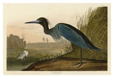 https://imgc.artprintimages.com/img/print/blue-crane-or-heron_u-l-f8cbcm0.jpg?artPerspective=n