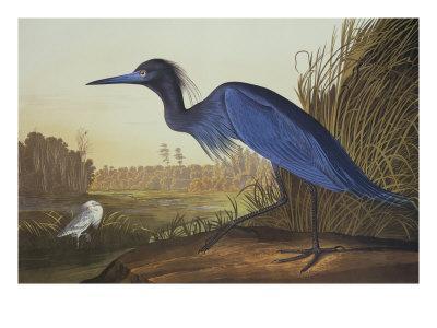 https://imgc.artprintimages.com/img/print/blue-crane-or-heron_u-l-p9d4w30.jpg?p=0