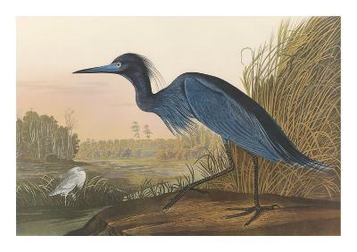 Blue Crane-John James Audubon-Premium Giclee Print