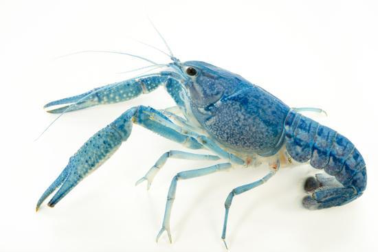 Blue crayfish, Procambarus alleni-Joel Sartore-Photographic Print