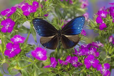 https://imgc.artprintimages.com/img/print/blue-crow-butterfly-euphoea-mulciber-subvisaya_u-l-pyp6p00.jpg?p=0