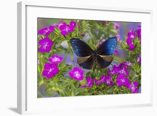 Blue Crow Butterfly, Euphoea Mulciber Subvisaya-Darrell Gulin-Framed Photographic Print