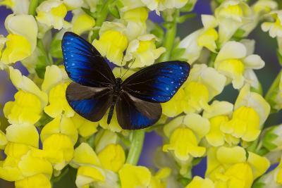 Blue Crow Butterfly, Euphoea Mulciber Subvisaya-Darrell Gulin-Photographic Print