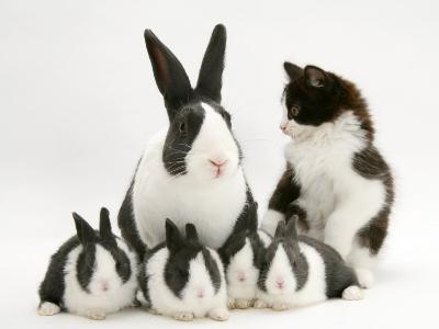 Blue Dutch Rabbit and Four 3-Week Babies and Black-And-White Kitten-Jane Burton-Photographic Print