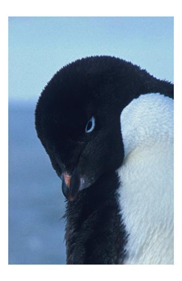 Blue-Eyed Adelie Penguin-Charles Glover-Giclee Print