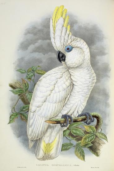 Blue-Eyed Cockatoo-William Hart-Giclee Print