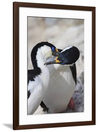 Blue-eyed shag family, Paulet Island, Antarctica-Tom Norring-Framed Photographic Print