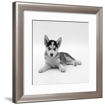 Blue-Eyed Siberian Husky Dog Puppy, 6 Weeks Old, Lying Down-Jane Burton-Framed Photographic Print