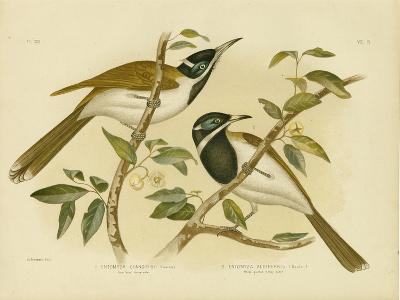 Blue-Faced Honeyeater, 1891-Gracius Broinowski-Giclee Print