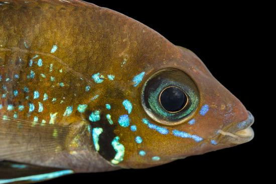 Blue flash, Thorichthys aureus-Joel Sartore-Photographic Print