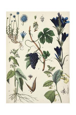 Blue Flowered Plants with Segment of Grapevine with Clustered Fruit