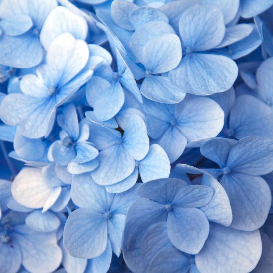 Blue Flowers--Photographic Print