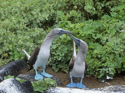 Blue-Footed Boobies Courtship Display, Sula Nebouxi, Galapagos-Gerald & Buff Corsi-Photographic Print