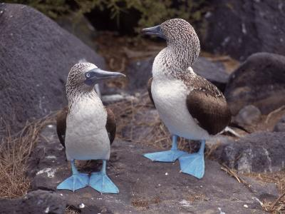 Blue Footed Boobies, Ecuador--Photographic Print