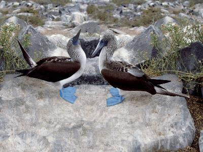 Blue-Footed Boobies in Skypointing Display, Galapagos Islands, Ecuador-Jim Zuckerman-Photographic Print