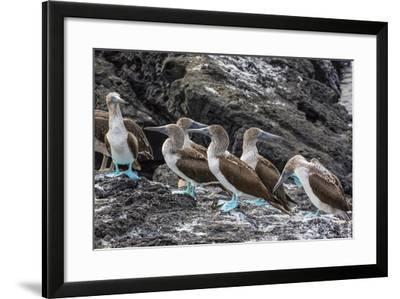 Blue-Footed Boobies (Sula Nebouxii) at Puerto Egas-Michael Nolan-Framed Photographic Print