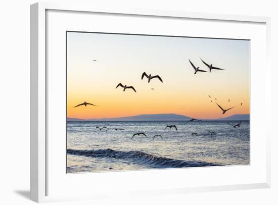 Blue-Footed Boobies (Sula Nebouxii) Plunge-Diving for Small Fish Off Rabida Island-Michael Nolan-Framed Photographic Print