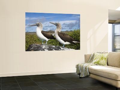 Blue-Footed Booby Courtship, Punta Cevallos, Espanola Or Hood Island, Galapagos Islands, Ecuador-Pete Oxford-Wall Mural