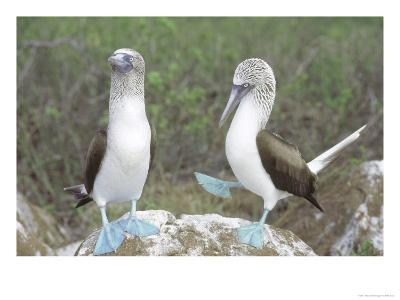 Blue Footed Booby, Elaborate Courtship Dance, Galapagos-Mark Jones-Photographic Print