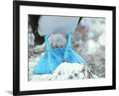 Blue-footed Booby Feet-Peter Scoones-Framed Photographic Print