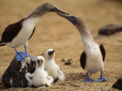 Blue-Footed Booby Pair with Chicks, Sula Nebouxii, Galapagos Islands-Frans Lanting-Photographic Print