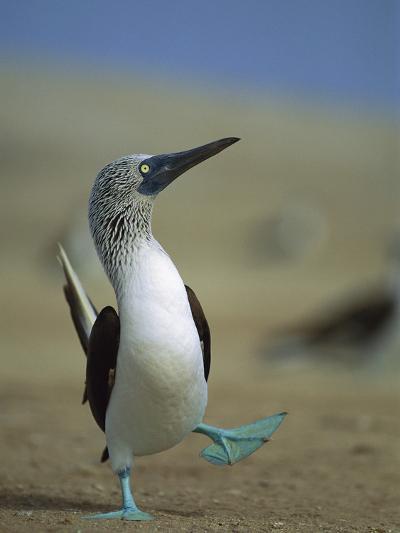 Blue-Footed Booby (Sula Nebouxii) Courtship Dance, Lobos De Tierra Island, Peru-Tui De Roy/Minden Pictures-Photographic Print