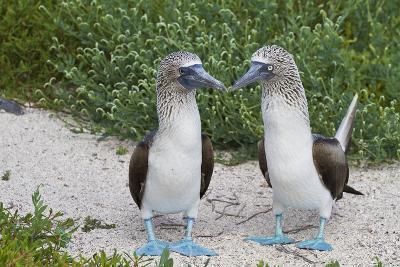 Blue-Footed Booby (Sula Nebouxii) Pair, North Seymour Island, Galapagos Islands, Ecuador-Michael Nolan-Photographic Print