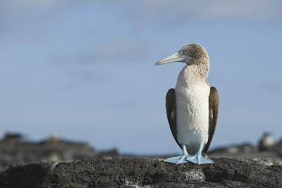 Blue-Footed Booby-DLILLC-Photographic Print