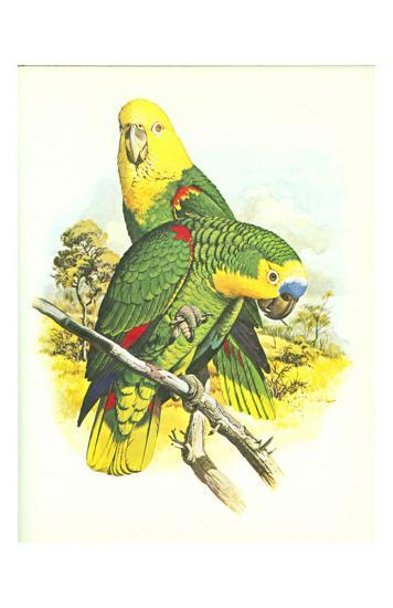 Blue Fronted Amazon no. 545--Art Print