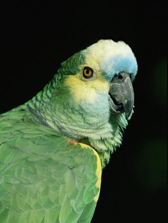 Blue Fronted Amazon Parrot-Lynn M^ Stone-Premium Photographic Print