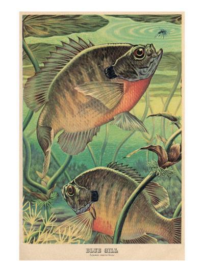 Blue Gill Eying Bug--Art Print