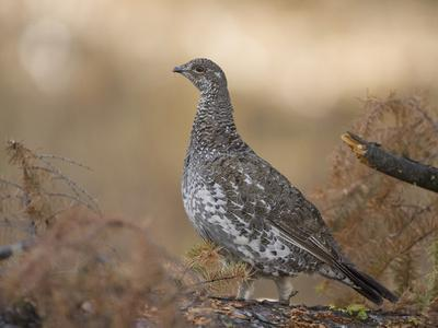 Blue Grouse, Dendragapus Obscurus, Western North America-Joe McDonald-Photographic Print